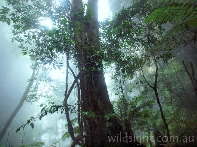 leura forest